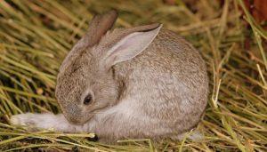 Haarballen beim Kaninchen