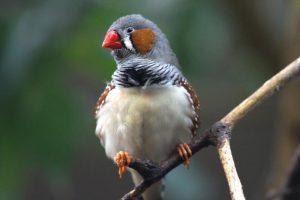 Zebrafinken: Haltung und Zucht