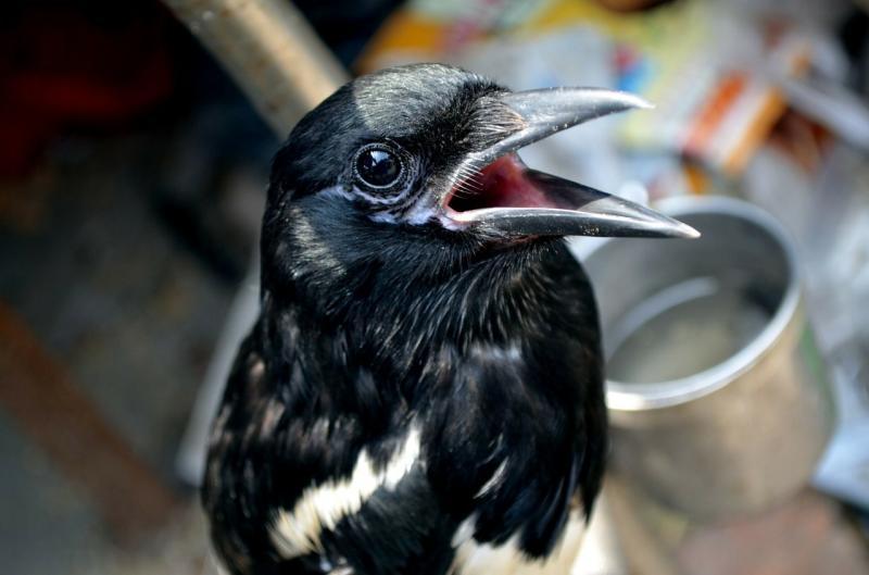 Beo: Haltung des sprachbegabten Vogels