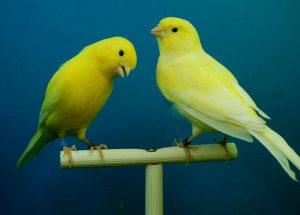 Der Kanarienvogel - wo er herkommt und wie man ihn hält