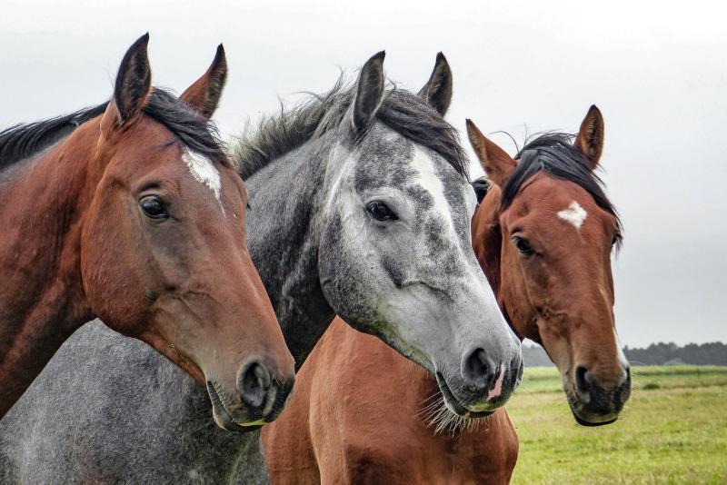 Pferderassen von A-Z