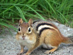 Streifenhörnchen als Haustier halten?
