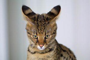 Savannah-Katze: Serval trifft Hauskatze