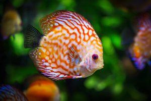 Diskusfische halten: Augenweide im Aquarium