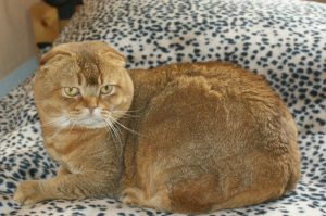 Scottish Fold: Faltohren dank Mutation