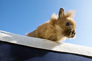 Löwenköpfchen Kaninchen: Verschmuste Hoppler mit flauschiger Mähne