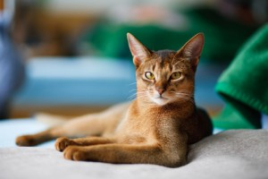Berühmte Katzen: Eine Siamkatze wird Physiker